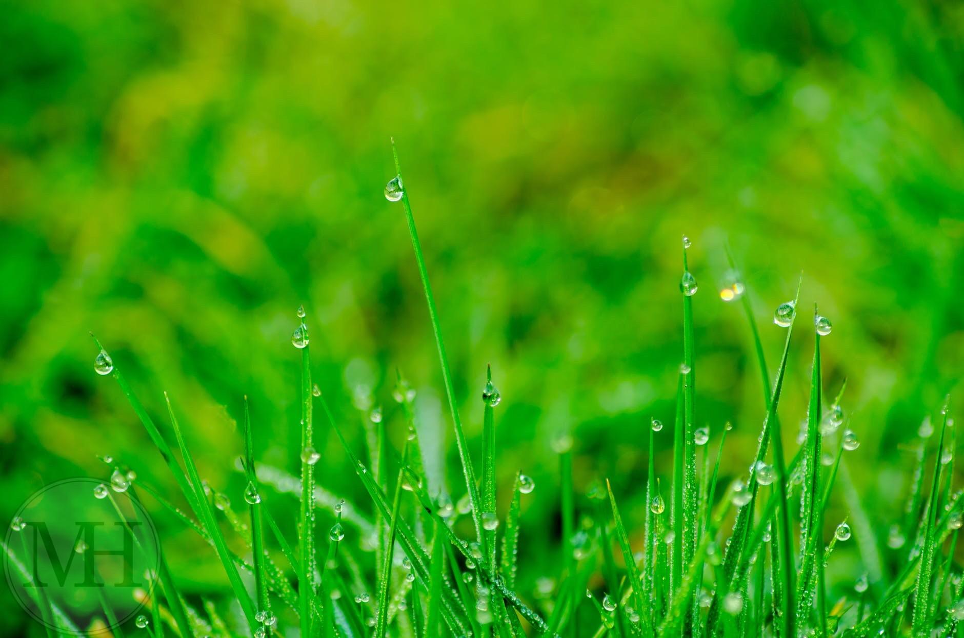regn græs